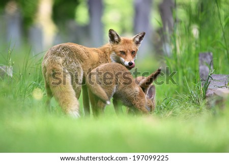 Red Fox (Vulpes vulpes) Vixen with young cubs amongst the grass.