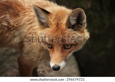 Red fox (Vulpes vulpes). Wild life animal.  - stock photo