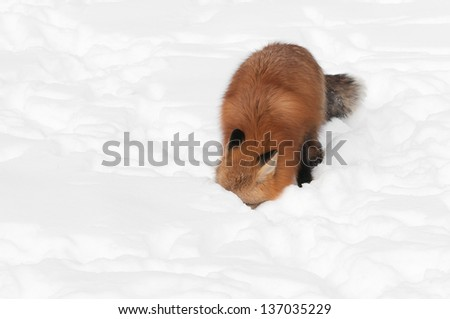 Red Fox (Vulpes vulpes) with Nose in Snow - captive animal