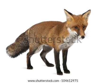 Red fox, Vulpes vulpes, 4 years old, standing against white background - stock photo