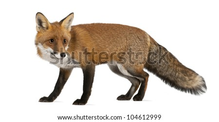 Red fox, Vulpes vulpes, 4 years old, walking against white background - stock photo