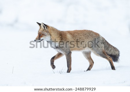 Red fox walking through the white snow in wintertime - stock photo