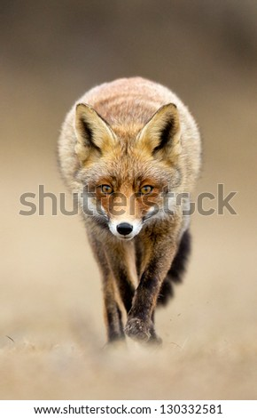 Red fox walks right up to the photographer - stock photo
