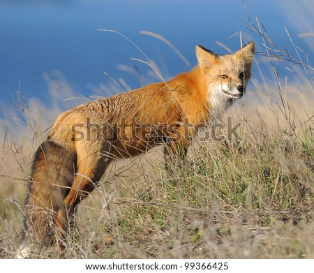 Red Fox with ocean in background - stock photo