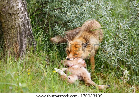 red fox with prey - stock photo
