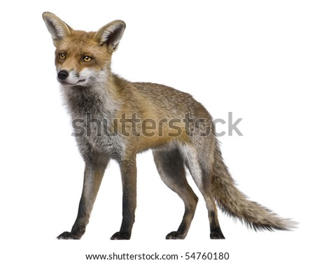 Red Fox, 1 year old, standing in front of white background