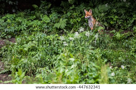 Red foxes in the wild nature, sits on the edge of the forest. European Red Fox.
