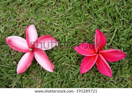red frangipani on grass, back and front - stock photo