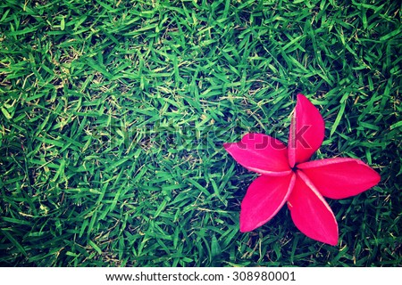Red frangipani on grass, vintage style background. - stock photo