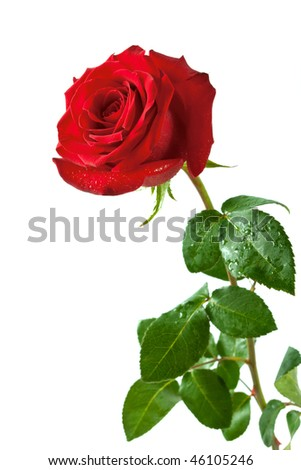 red fresh rose isolated on a white background. More isolated flowers you may see in my portfolio - stock photo