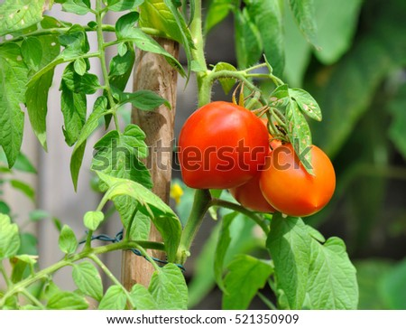 red fresh tomatoes among foliage in a garden