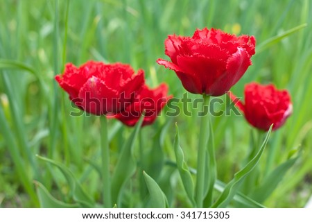 red fringed double tulips closeup on green outdoor background - stock photo