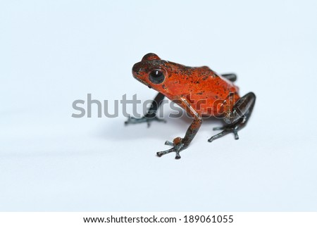 red frog - stock photo