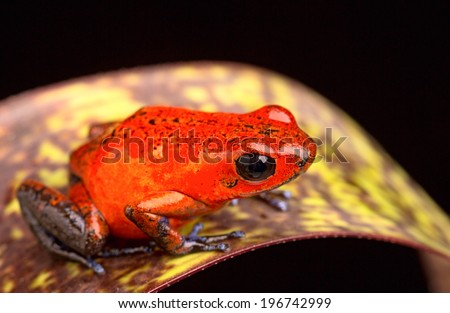 red frog from Costa Rica poison arrow frog Oophaga pumilio - stock photo