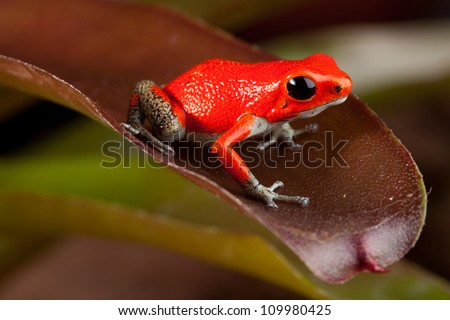 red frog, oophaga pumiio or strawberry poison dart frog of Panama and Costa Rica - stock photo