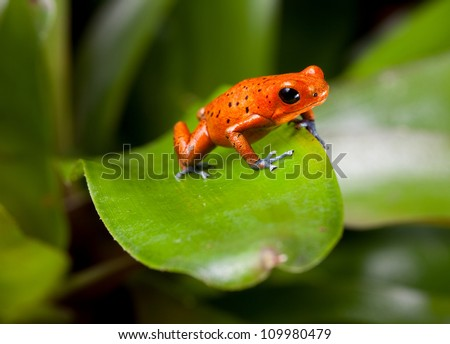 red frog with blue legs, poison dart frog, beautiful rainforest species of costa rica and panama kept as a pet in a terrarium ,oophaga pumilio exotic amphibian - stock photo