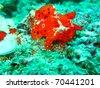 Red frogfish at sipadan - stock photo