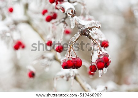 red frozen berries in the ice on a branch of tree, after freezing rain