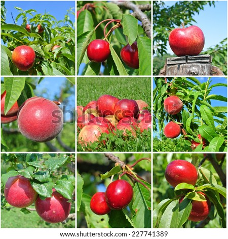 Red fruit collage made of nine photos of different sorts of red fruit (apples, peaches, nectarines and cherries) in the natural setting, in the orchard or on trees. - stock photo