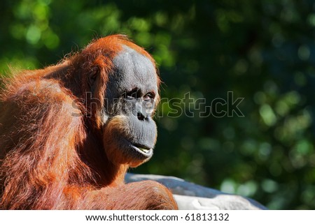 Red furred orangutan looking toward photographer with soft green foliage in background - stock photo