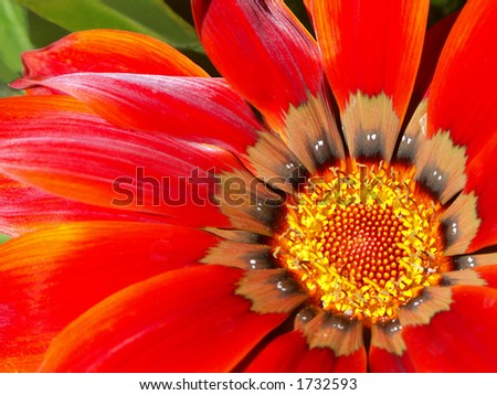 Red gazania close-up, shallow depth of field - stock photo