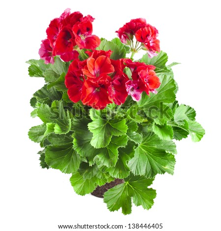 Red geranium flower close up isolated on white background - stock photo