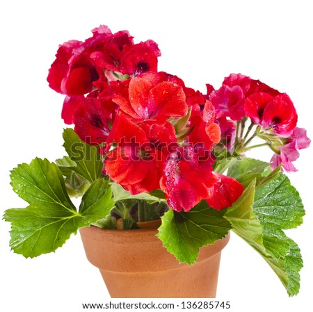 Red geranium flower in a clay pot isolated on white background - stock photo