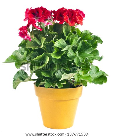 Red geranium flower in a yellow plastic pot isolated on white background - stock photo