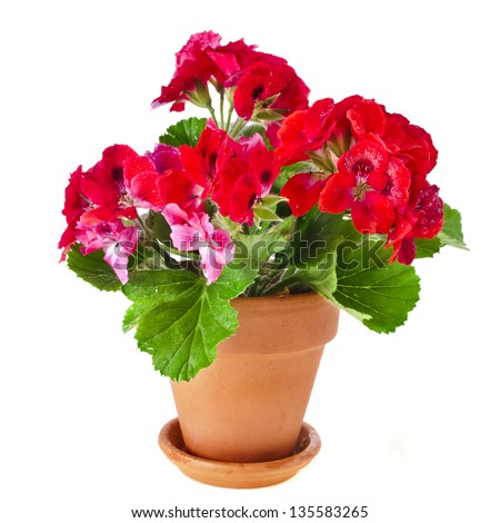 Red geranium flower, potted plant isolated on white background - stock photo
