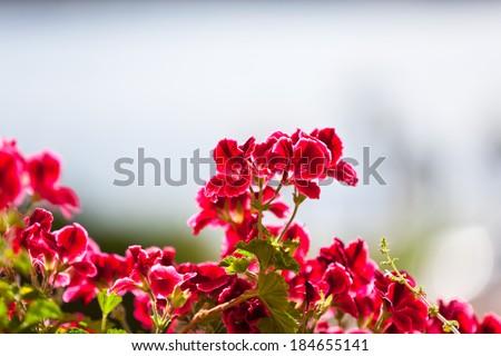 Red Geranium Flowers against Sunlight. Horizontal shot - stock photo