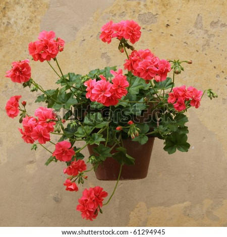 red geranium in pot on wall, Tuscany - stock photo