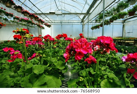 Red Geraniums in a nursery - stock photo