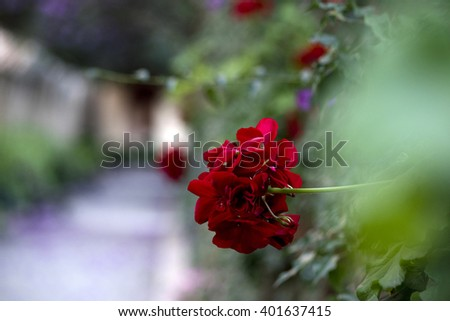 Red geraniums in full bloom. - stock photo