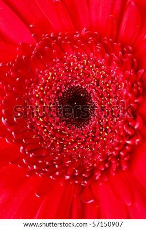 red gerber - stock photo