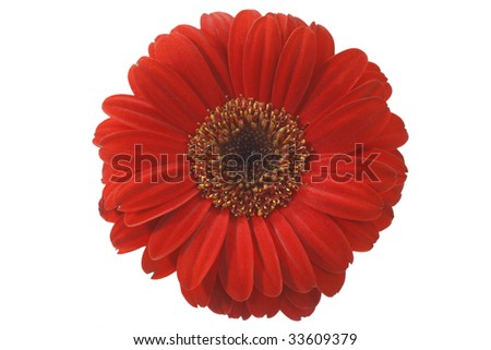 Red gerber blossom - isolated on white background