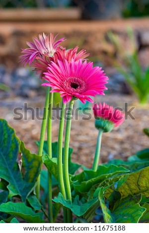 Red Gerber Daisy flowers growing in a garden - stock photo