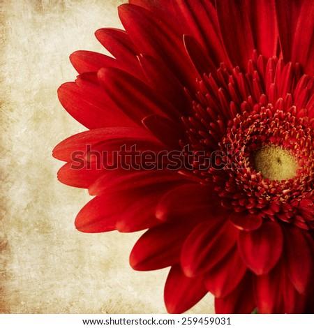 Red gerber flower  - stock photo