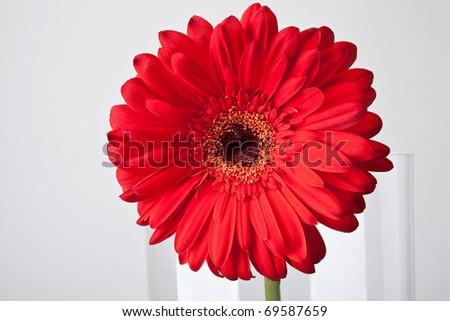 Red gerber flower in glassy vase - stock photo
