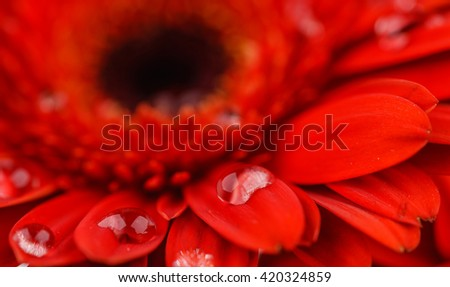 Red Gerber with dew drops on it's petals closeup - stock photo