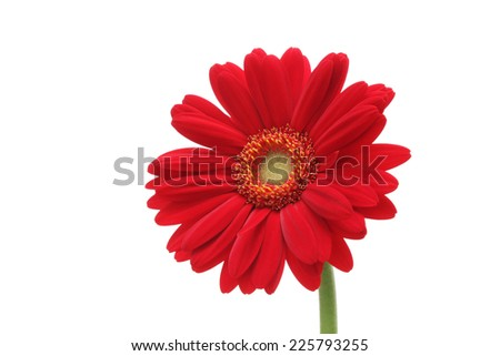 Red gerbera daisy isolated on white background  - stock photo