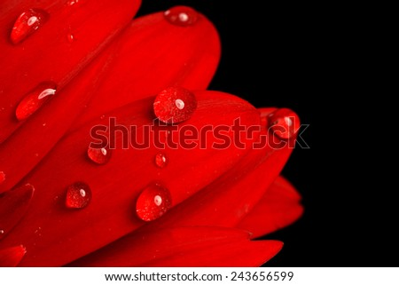 red gerbera flower close up  background - stock photo