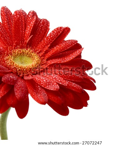 red gerbera flower closeup on white background - stock photo