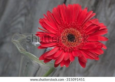 red gerbera flower in the vase close-up against wooden wall, tilted angle - stock photo