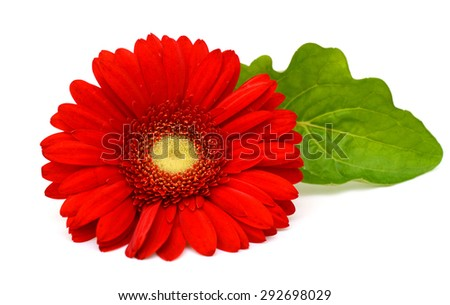 Red gerbera flower, Isolated on white background
