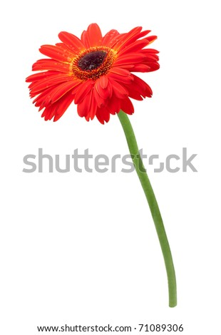 Red gerbera flower. Isolated on white background - stock photo