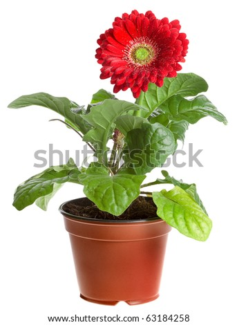 red gerbera in a brown pot isolated on white background - stock photo