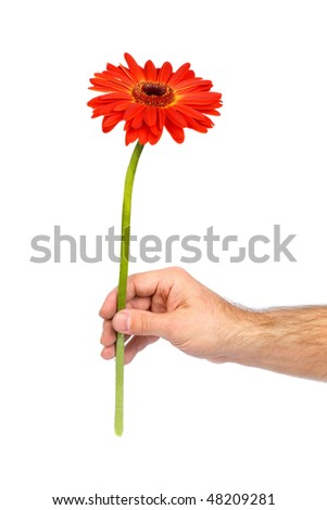 Red gerbera in male hand isolated on white
