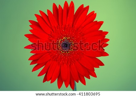 Red gerbera isolated on green background. Close up - stock photo