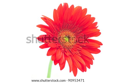 red gerbera  isolated on white - stock photo