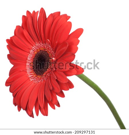 Red gerbera isolated on white background.